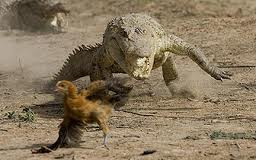 Crocodile_chases_a_chicken