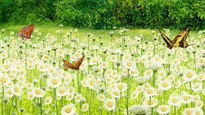 Butterlies_in_a_field_of_dasies