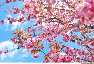The-cherry-trees-are-blooming-2013