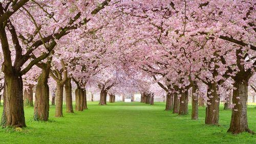 Beautiful_spring_blossom_trees16