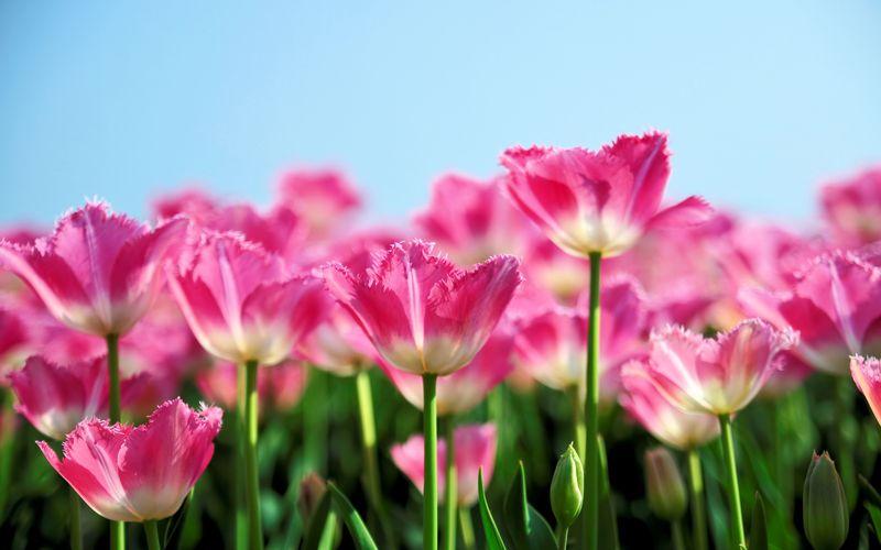 Beautiful_Tulips