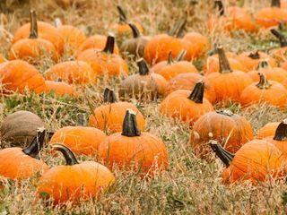 Pumpkin_patch2