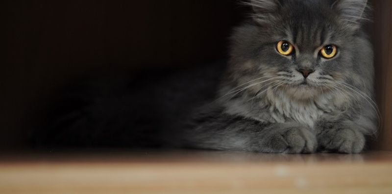 Grey_Purisan_cat