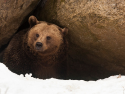 Bear-in-hibernation
