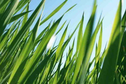 Grass-grows