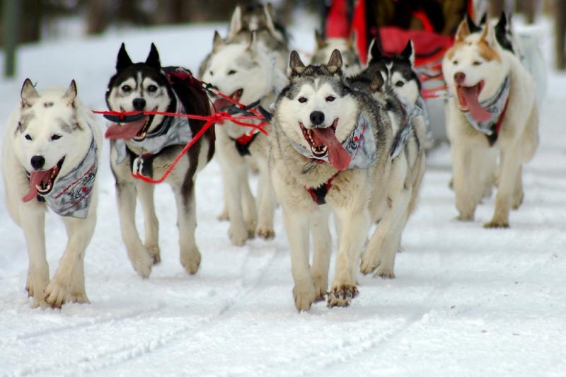 Iditarod_dogs