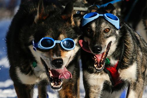 Iditarod_cool_dogs