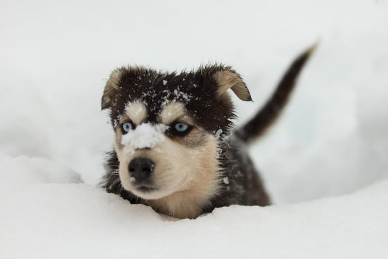 Sled-dog-puppy